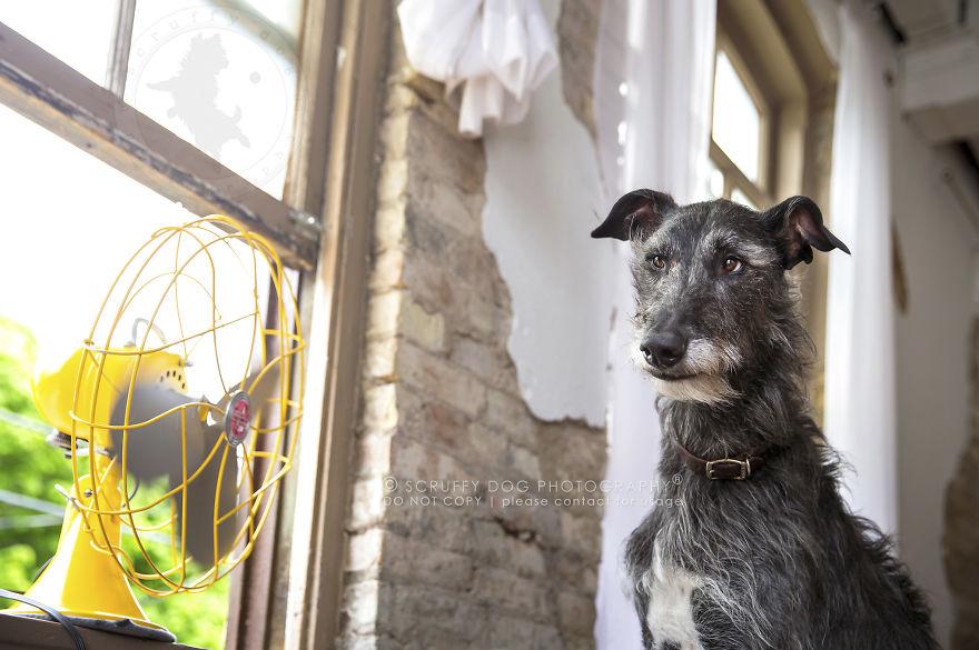 Archer, The Scottish Deerhound