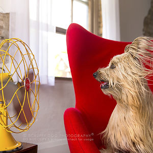 Whiskey, A Fawn Skye Terrier
