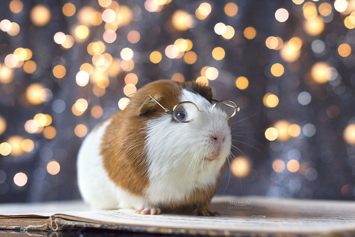 I Photograped Guinea Pigs With Glasses