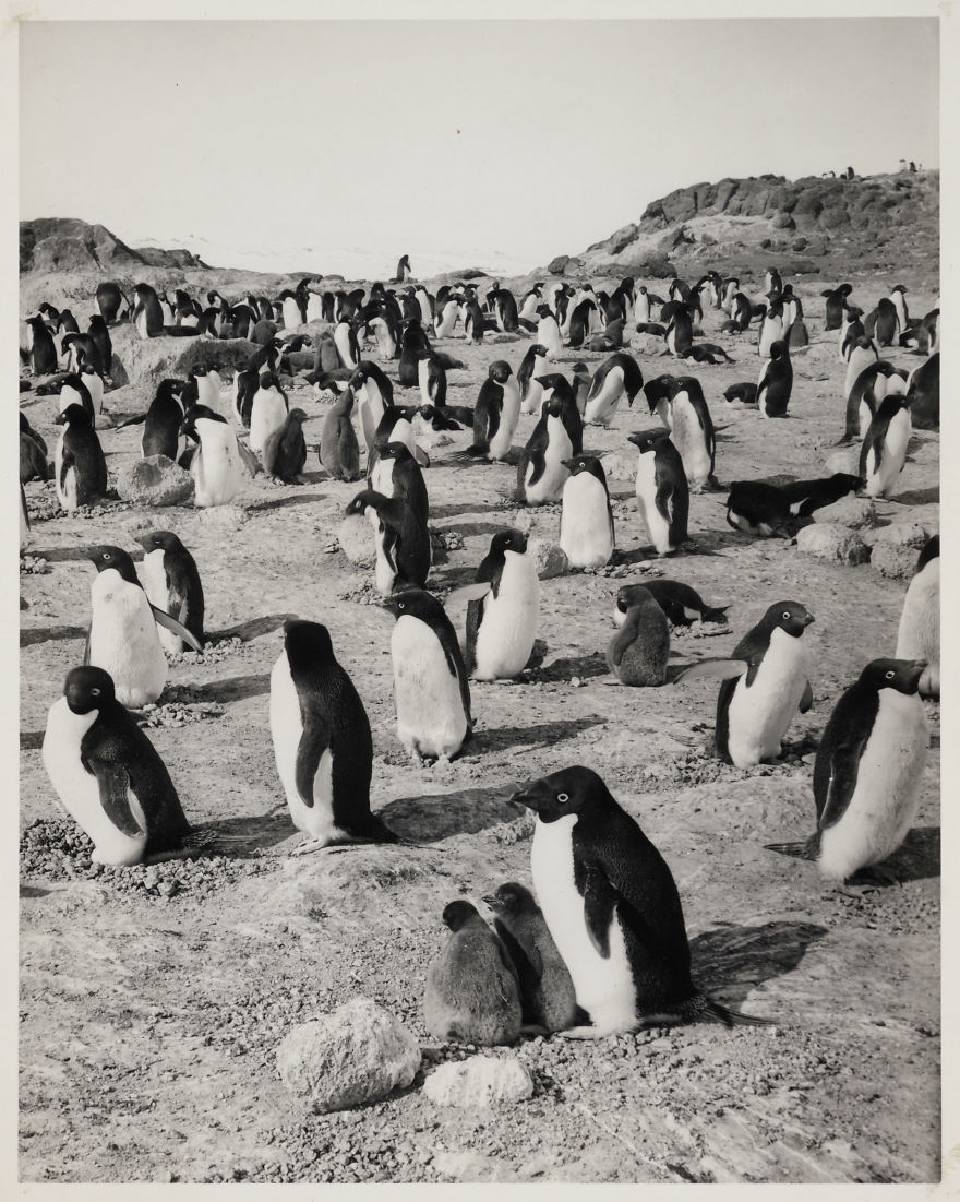 Adélie Penguins At Cape Royds
