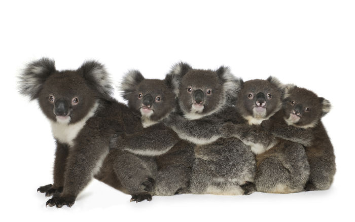 Five Adorable Baby Koala Orphans Cuddle Together And Share The Love
