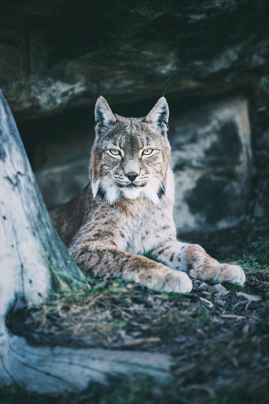 Lynx, East Tyrol, Austria