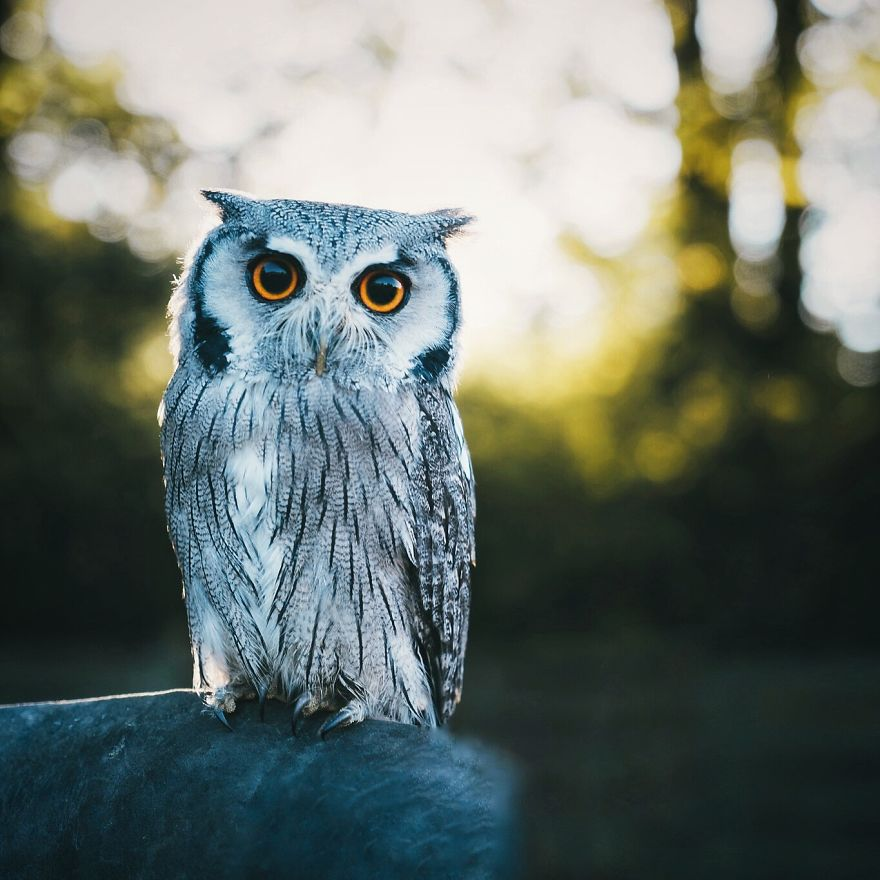 White-Faced Owl, Franconia, Germany
