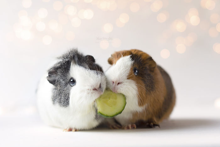 Adopting A Guinea Pig Was The Best Decision Ever