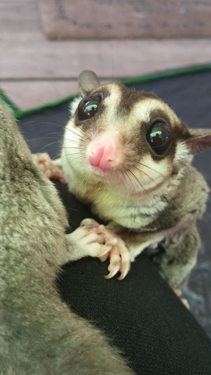 Kip. My Sugar Glider!
