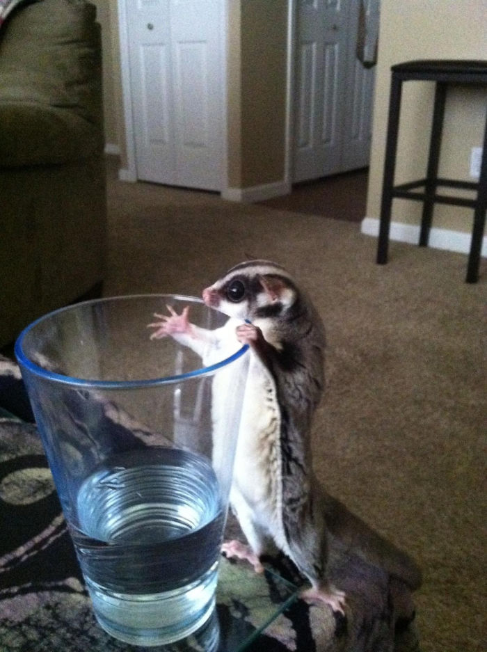 Friend's Sugar Glider Wanted To Get To The Water!