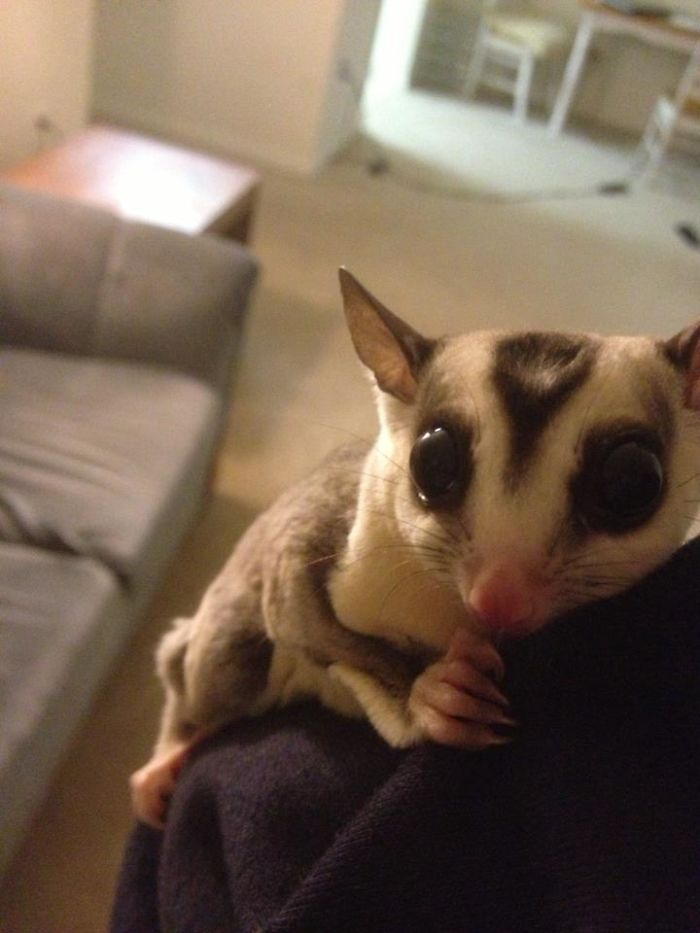 My Sugar Glider, Marvel, Hates The Light And Clings To My Gf When The Lamp Is On