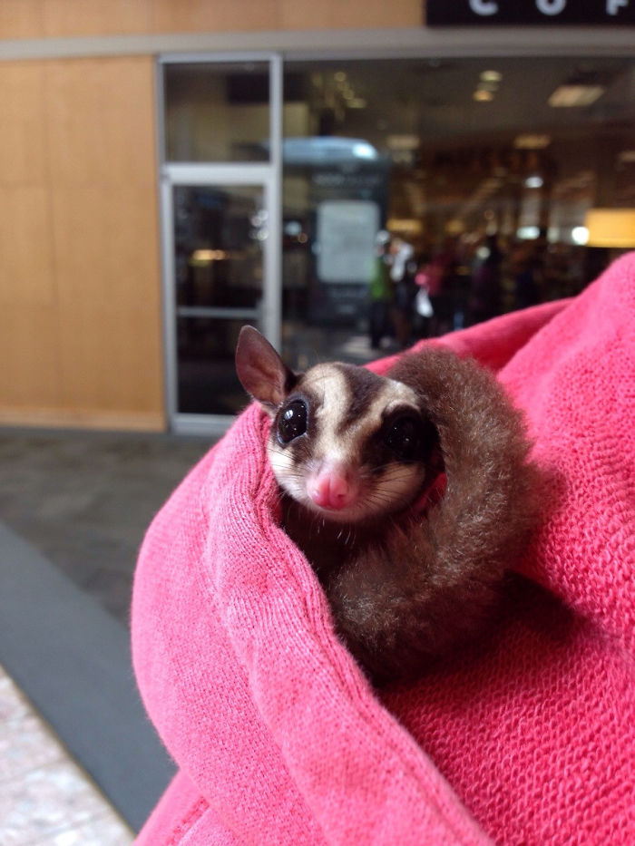 Sugar Glider At The Mall; I Didn't Have A Pocket But He Found A Place To Sleep!