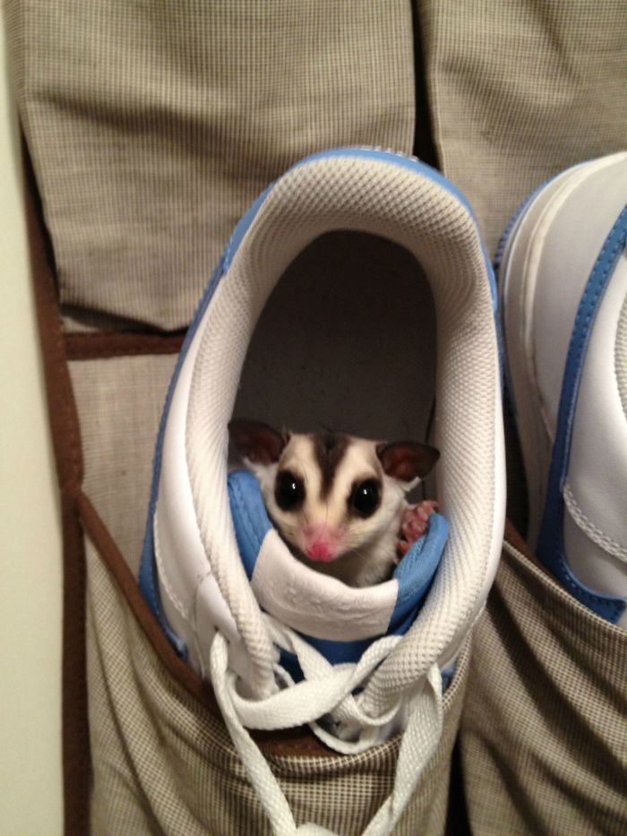 This Is My Sugar Glider Marvel And He Likes To Hide... I Found Him Here...