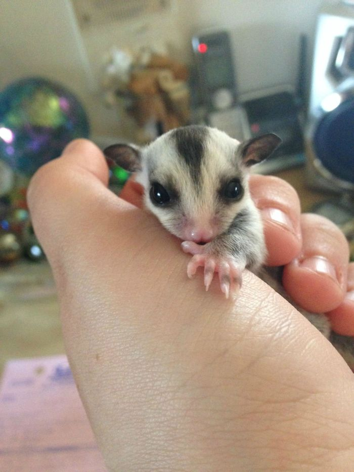 Since I Moved Out My Mom Started Raising Sugar Gliders And They Had Babies. This Is Amelia