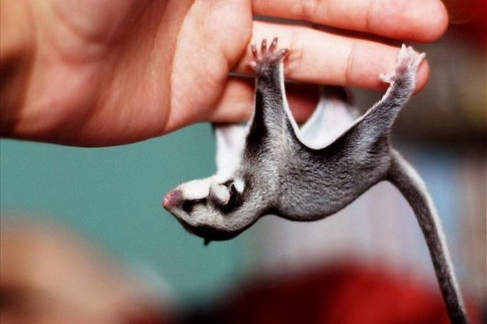 Baby Sugar Glider Just Hanging Around