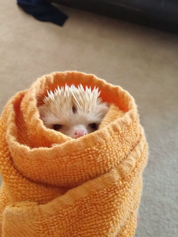 This Is My Angry Burrito Hedgehog