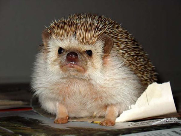 Here Is An Angry Hedgehog