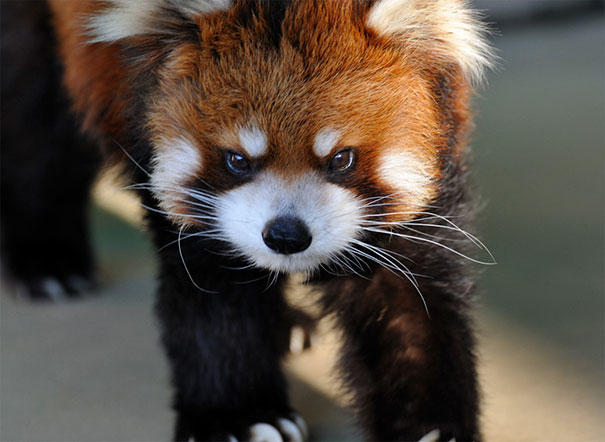 Grumpy Red Panda