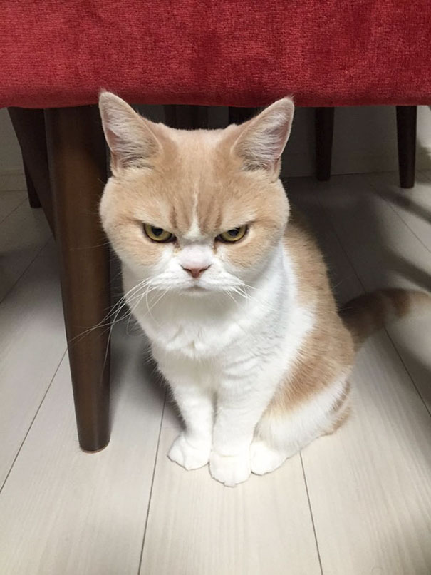 Japanese Grumpy Cat, Who Is Even Grumpier Than The Original One
