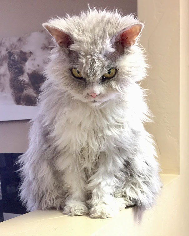 Albert The Sheep-cat With A Bitchy Resting Face