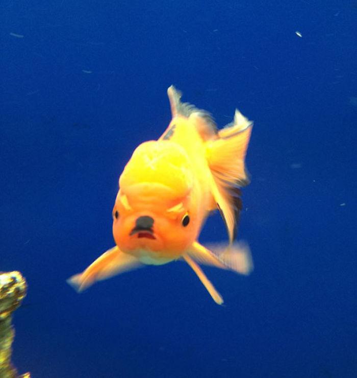 My Evil Hitler Goldfish