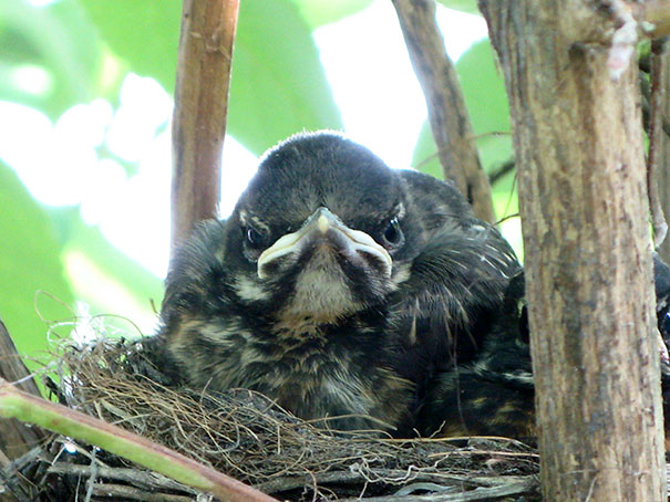 This Angry Bird Was Nested In My Backyard This Summer