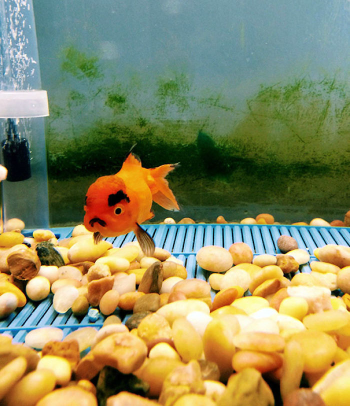 I Just Bought The Angriest Goldfish Of All Time