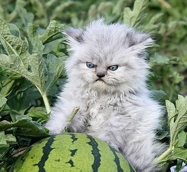 Fluffy Ball Of Anger