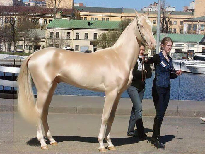 beautiful-horse-shiny-blonde-hair-akhal-teke-1