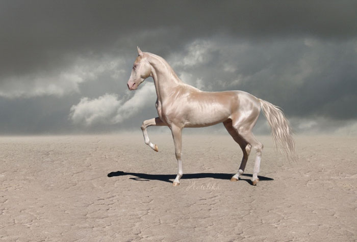 beautiful-horse-shiny-blonde-hair-akhal-teke-4