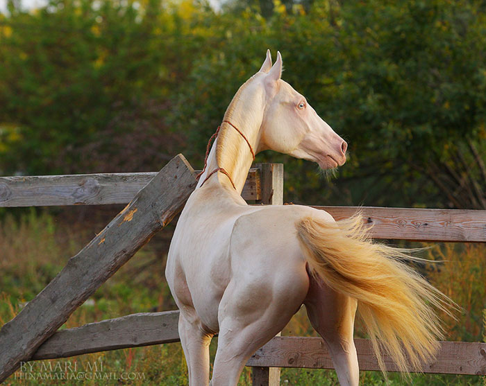 beautiful-horse-shiny-blonde-hair-akhal-teke-6