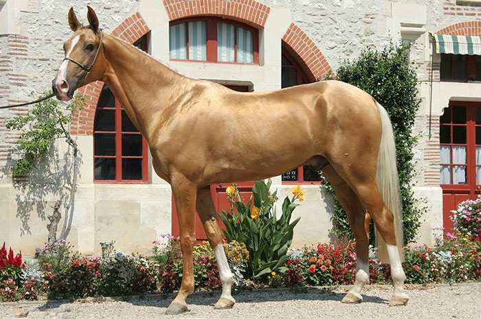 beautiful-horse-shiny-blonde-hair-akhal-teke-7