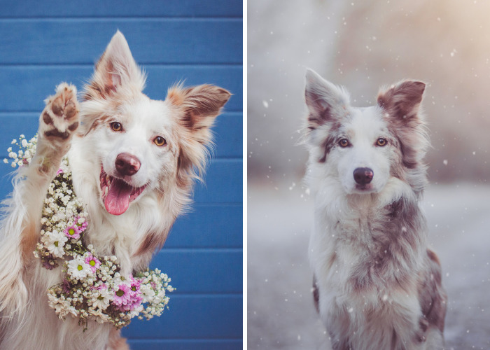 Meet Border Collie Cinni, One Of The Most Photogenic Adopted Dogs Ever