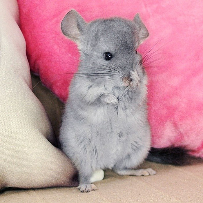 chinchilla dating site Dharmamatch, a dating/matchmaking site for spiritual singles browse in-depth photo profiles/personals meet local singles who share your beliefs & values free to join.