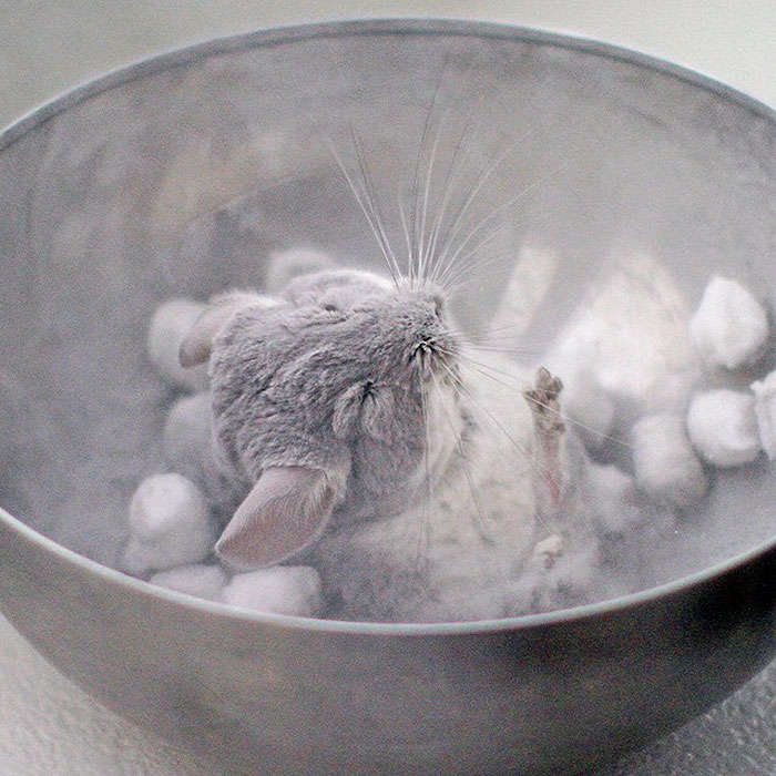 Baby Chinchilla