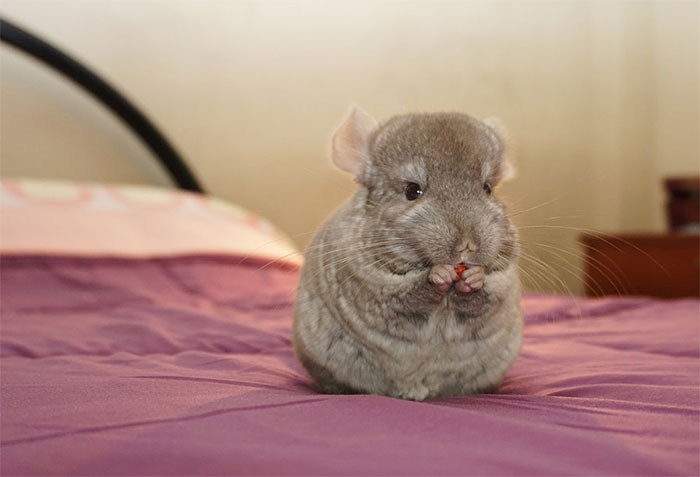 10 Baby Chinchillas That Will Melt Your Heart Bored Panda