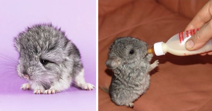 How Long Can Chinchillas Live Without Food