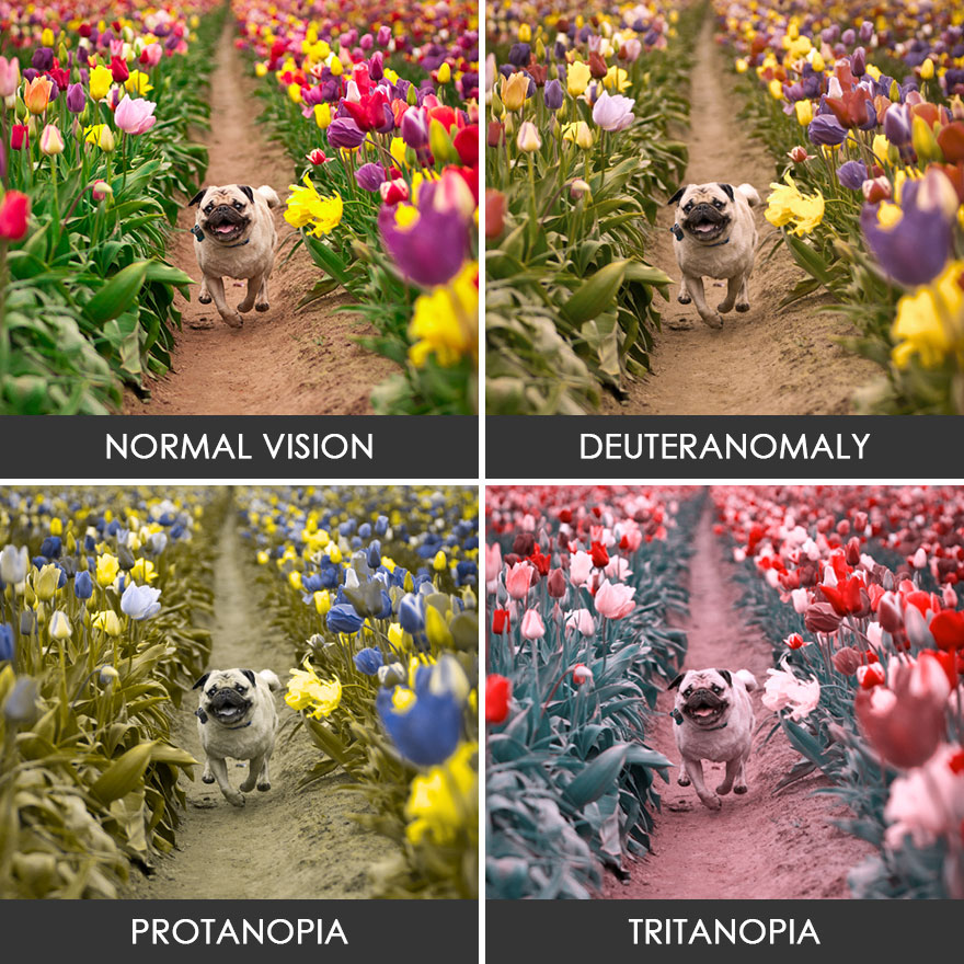 Pug in a tulip field
