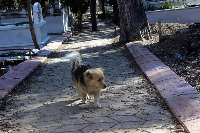 dog-visits-owner-grave-every-day-cesur-6