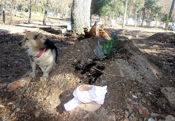 dog-visits-owner-grave-every-day-cesur-7