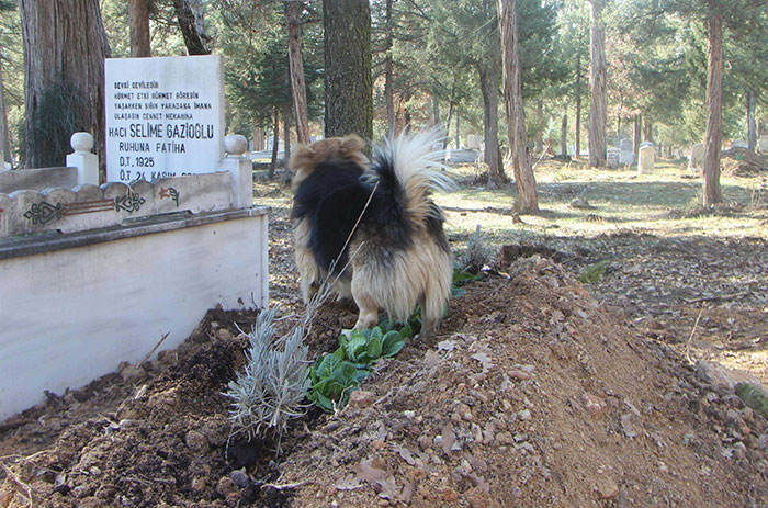 dog-visits-owner-grave-every-day-cesur-8