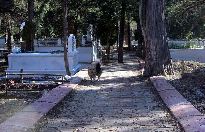 dog-visits-owner-grave-every-day-cesur-9