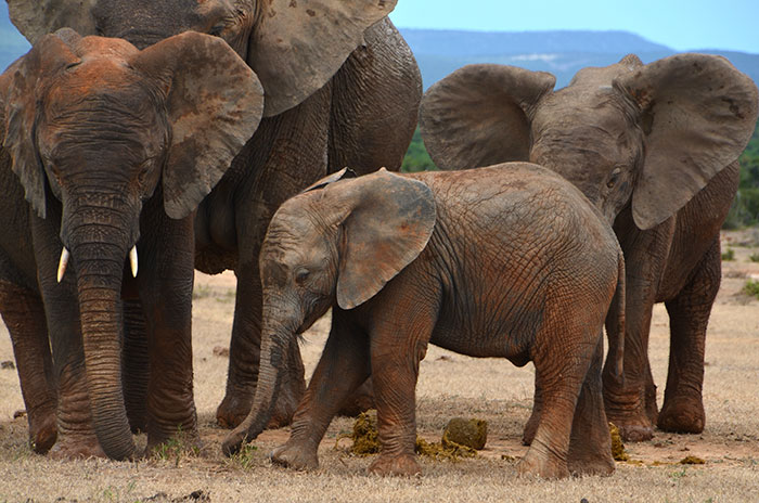 elephant-protection-ivory-sale-ban-china-1