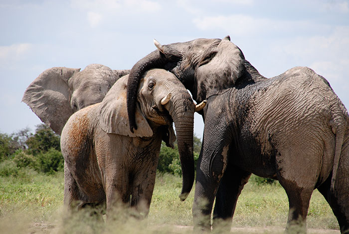 elephant-protection-ivory-sale-ban-china-2