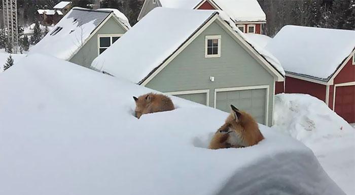 Este hombre quedó sorprendido al encontrar 2 zorros en su tejado, hasta que descubrió cómo llegaron ahí