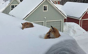 Guy Surprised to Find Two Foxes On His Roof, Then He Realizes How They Got There