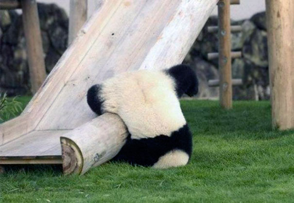 Pandas Probably Were Endangered For A Reason
