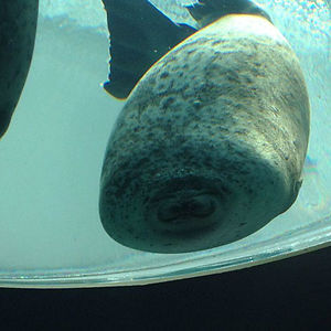 Just A Seal That Ran Into The Glass