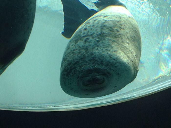 Nur eine Robbe, die gegen die Scheibe schwamm