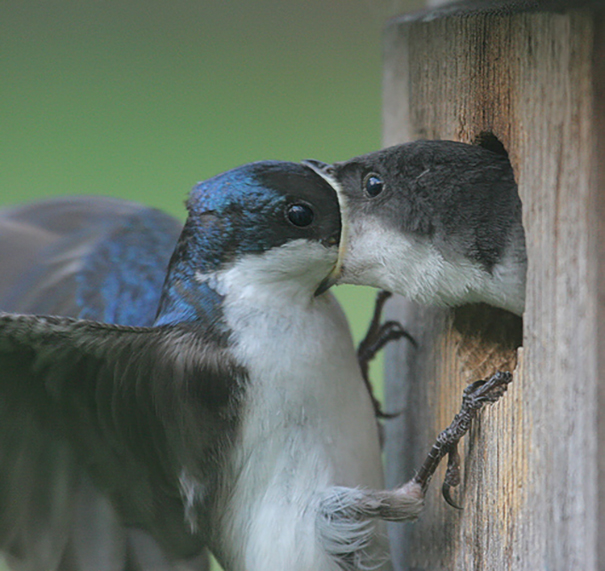 Swallow Swallowing A Swallow