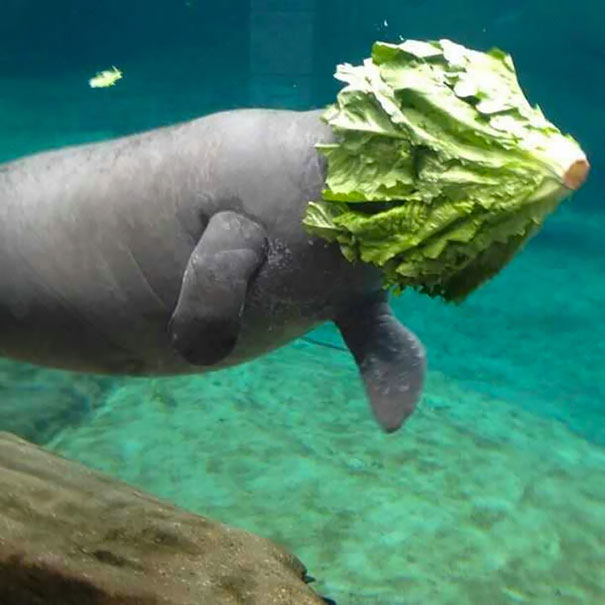 I Love Manatees Because They Are So Majestic