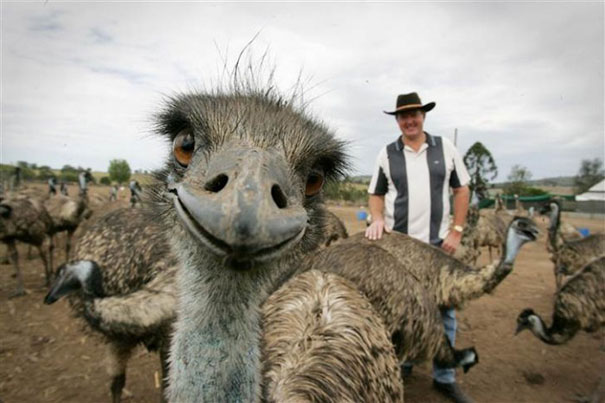 This Emu Is Definitely Not A Coward