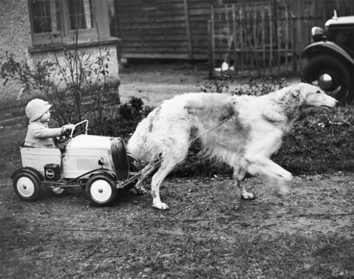 Nanson Of Netheroyd, A Champion Borzoi, Enjoys Pulling His Young Master Around In A Toy Car,1937
