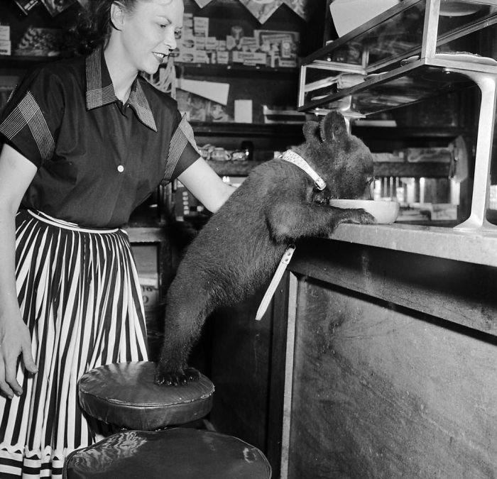 A Bear Cub Eats A Bowl Of Honey At A Cafe, 1950